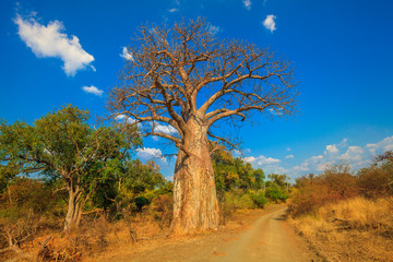 Foto op Canvas Baobab Landscape of Baobab tree in Musina Nature Reserve, one of the largest collections of baobabs in South Africa. Game drive in Limpopo Game and Nature Reserves. Sunny day with blue sky. Dry season.