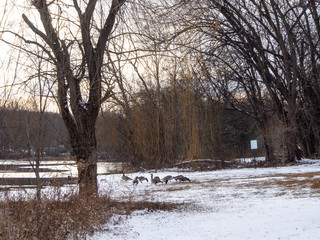 geese in the park covered with snow