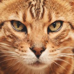 chat race Bengale mâle intérieur maison