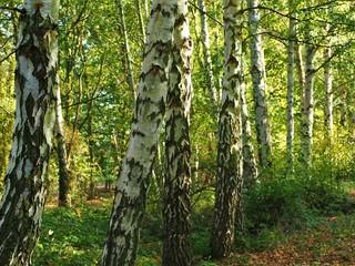 Birch tree trunks in woodland in sunlight