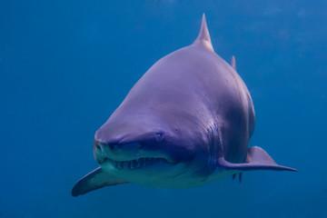 Menacing shark