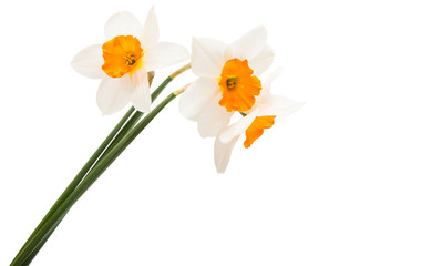 Papiers peints Narcisse daffodil flowers isolated