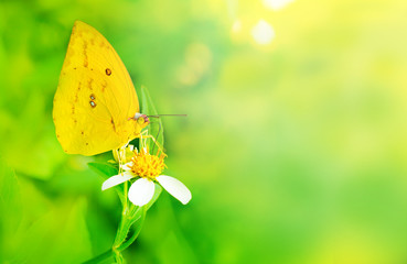 Yellow Butterfly on white flower with soft blurred background
