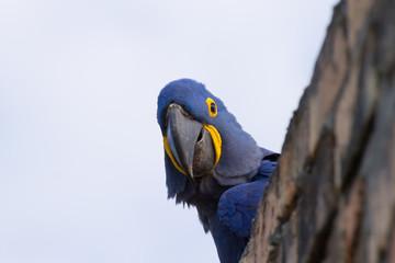 Hyacinth macaw close up, Brazilian wildlife
