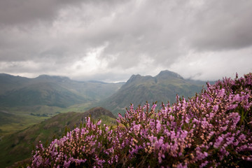 Blooming pink heather foreground in the Cumbrian mountains or fjells