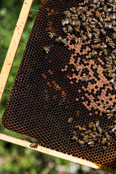Close up of a beehive frame with bees and honey