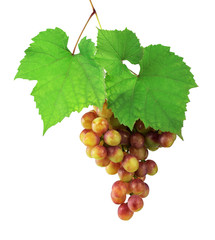 Champagne Grapes isolated without a shadow. Vine with grapes and green leaves. Close-up.