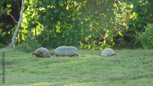 Group of south American Yellow-footed Tortoises in French Guiana zoo