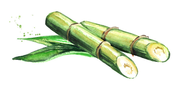 Sugar cane with leaves. Watercolor hand drawn illustration, isolated on white background