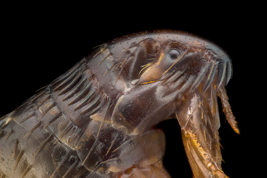 Extreme magnification - Flea at 20x magnification