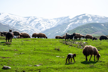 Sheep in nature  turkey