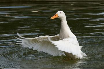 Ente weiß