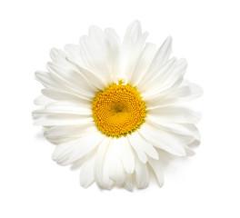 Beautiful chamomile flowers on white
