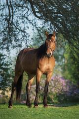 Fototapete - Beautiful bay horse in summer