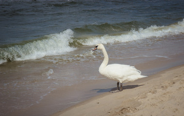 Baltic Sea - white swans on the shore.