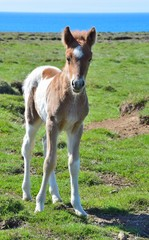 Cute Icelandic pinto foal.
