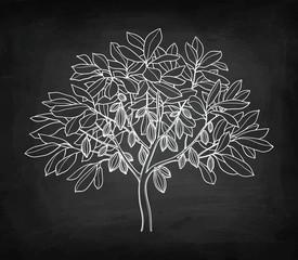 Cacao tree chalk sketch