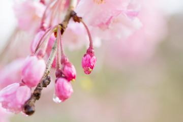 八重桜のつぼみと水滴