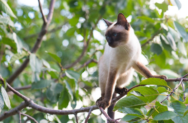 Siamese cat climbing on the tree