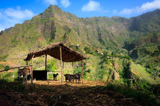 Cabo Verde breeding farm animals in mountains. Santo Antao