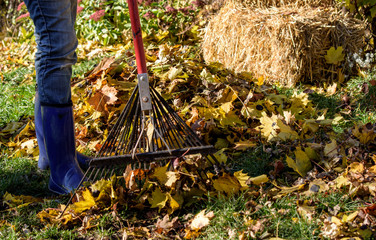 Woman rakign leaves outdoors in autumn season, homeowner chores concept