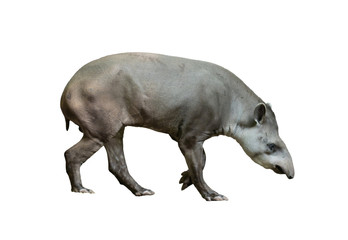brazilian tapir isolated