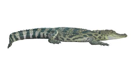 crocodile isolated
