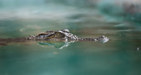 Photo sur Plexiglas Crocodile crocodile face and reflection in water