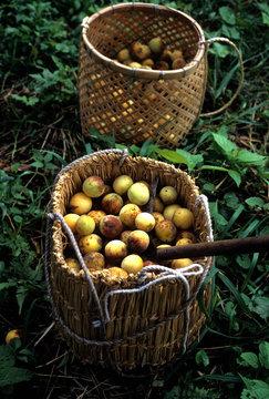 熟して自然に落ちた梅の実の収穫