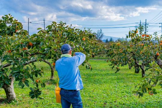 柿農家 収穫 秋イメージ