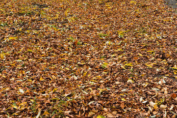 fallen yellow-green and brown dry leaves cover the ground