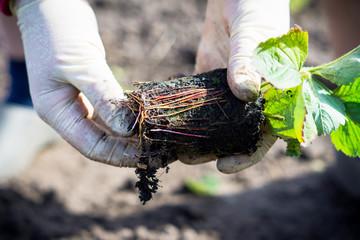 Farmer planting strawberry in the garden. Selective focus.