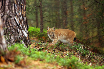 The Eurasian lynx (Lynx lynx), also known as the European lynx or Siberian lynx in autumn colors.