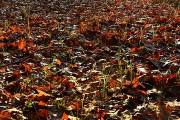 Fallen autumn leaves in late afternoon warm november sun with stalks of fresh grass growing between them.