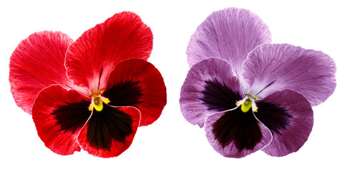 Papiers peints Pansies Pansies red and violet flower on a white isolated background with clipping path. Closeup no shadows. Nature.