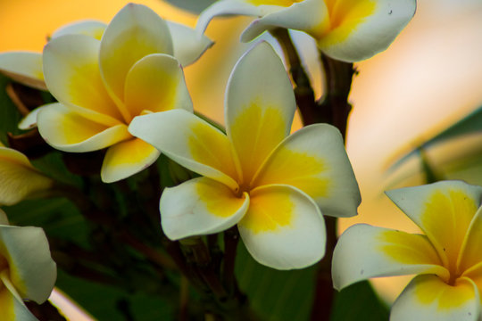 beautiful frangipani plumeria flower