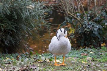 Duck in autumn environment