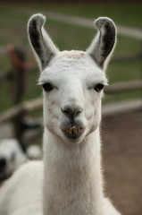 closeup of funny portrait of lama in a farm