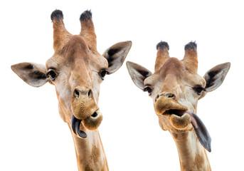 Head of giraffe on white background.