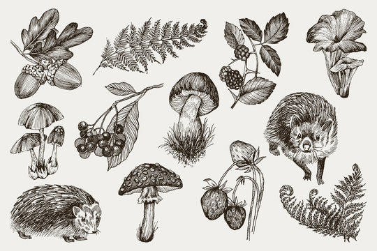 Collection of highly detailed hand drawn fern, mushrooms, strawberries, blackberry oak leaves, acorn and hedgehog isolated on white background. Vector design