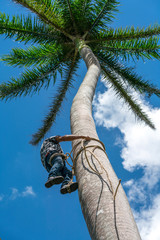 Adult male climbs coconut tree to get coco nuts