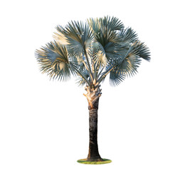 High palm tree (Livistona Rotundifolia or fan palm.) isolated on white background.