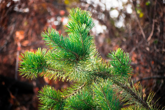 Beautiful green pine branch