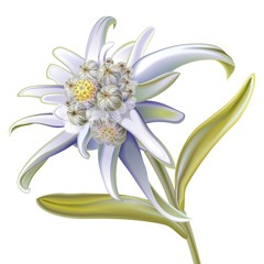 edelweiss on a white background
