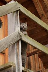 Britische Kurzhaar Katze (BKH), British Shorthair