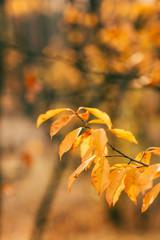 orange autumn foliage on blurred background