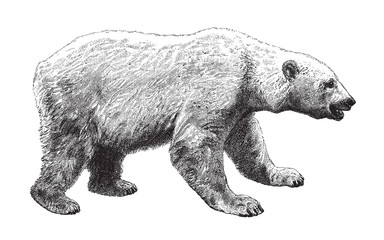 Polar bear (Ursus maritimus) / vintage illustration from Meyers Konversations-Lexikon 1897
