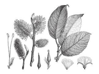 Goat Willow (Salix caprea) / vintage illustration from Meyers Konversations-Lexikon 1897