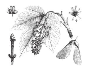 Sycamore maple (Acer pseudoplatanus) / vintage illustration from Meyers Konversations-Lexikon 1897