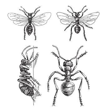 Southern wood ant (Formica rufa) / vintage illustration from Meyers Konversations-Lexikon 1897